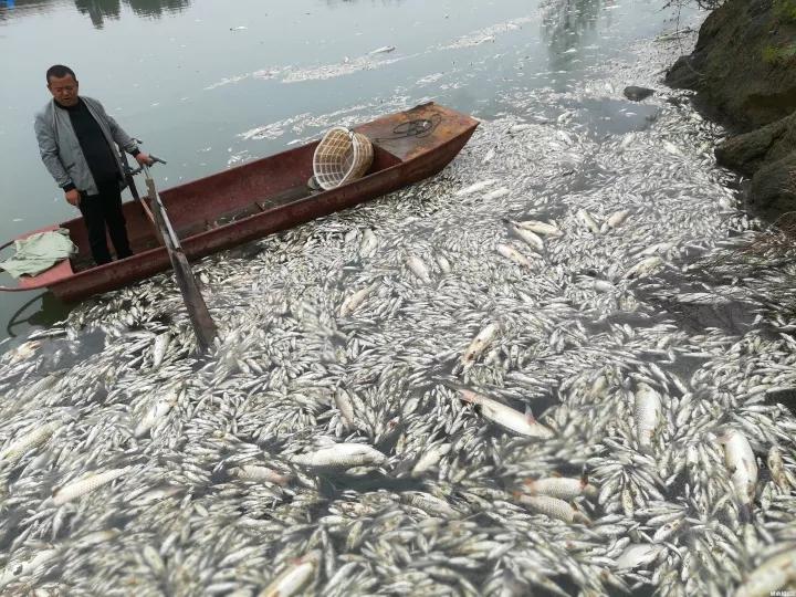 """数万斤鱼两天内突然死光!养殖户原本指望过年前卖个好价钱…"""""""