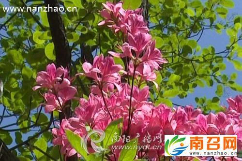 """南召黄鸡垛景区万亩杜鹃花竞相绽放溢芬芳"""""""